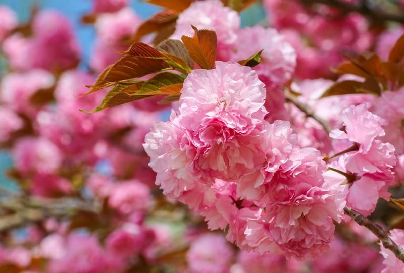 広島市植物公園の桜
