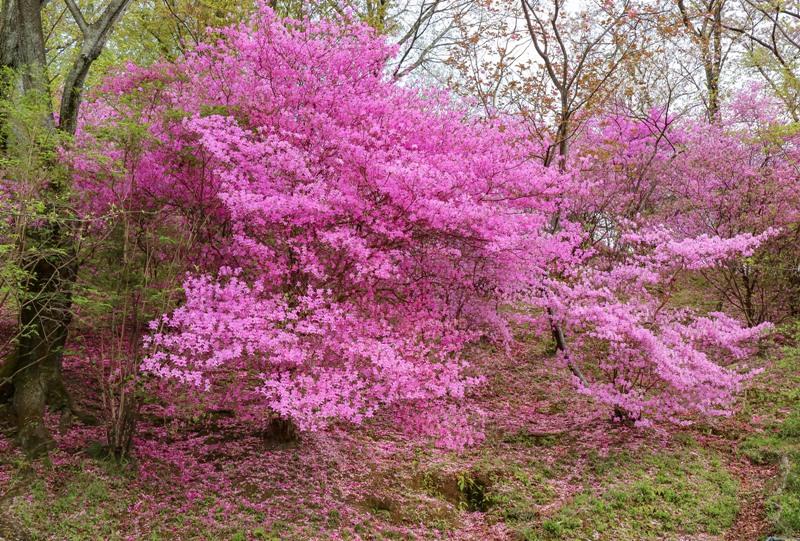 広島市植物公園のツツジ