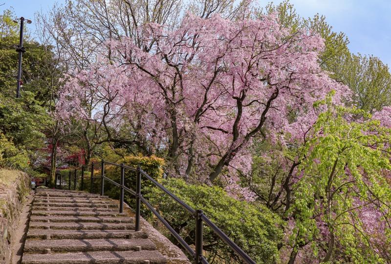 広島市植物公園のしだれ桜