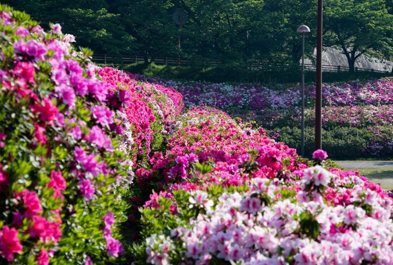 竜王公園と満開のツツジ