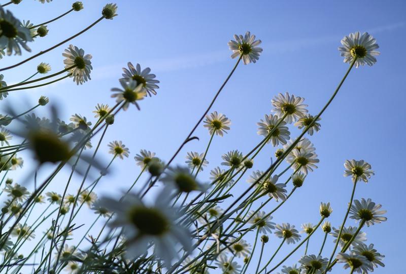 除虫菊と青空
