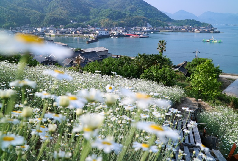 馬神除虫菊畑と重井西港の眺め