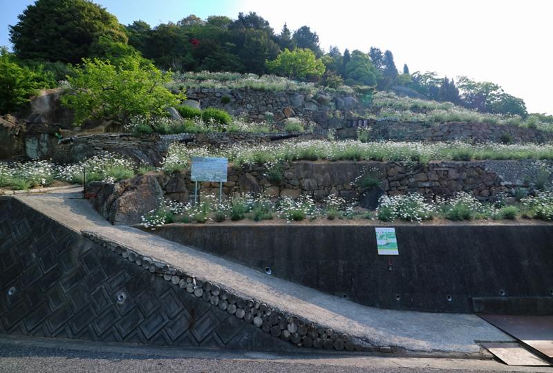 道路から見た上段の除虫菊畑