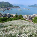 『除虫菊』が咲き誇る風景、瀬戸内海と共に望む!(尾道市因島)