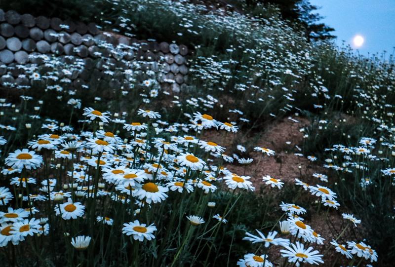 除虫菊と月