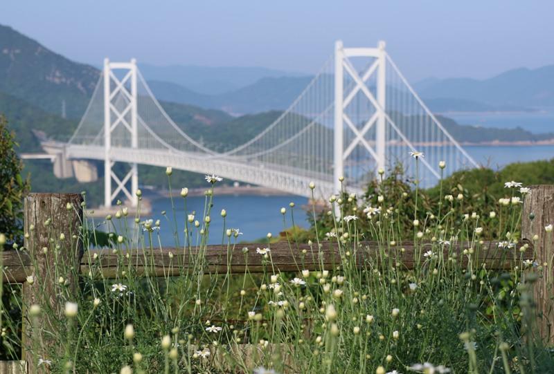 因島、白滝フラワーラインの除虫菊畑、因島大橋と共にの除虫菊畑