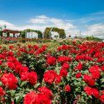 蜂ヶ峯総合公園でバラを観賞!その後は~ローラー滑り台じゃ!!