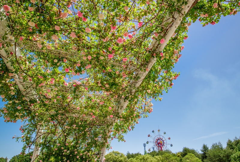 蜂ヶ峯総合公園、バラ園と観覧車
