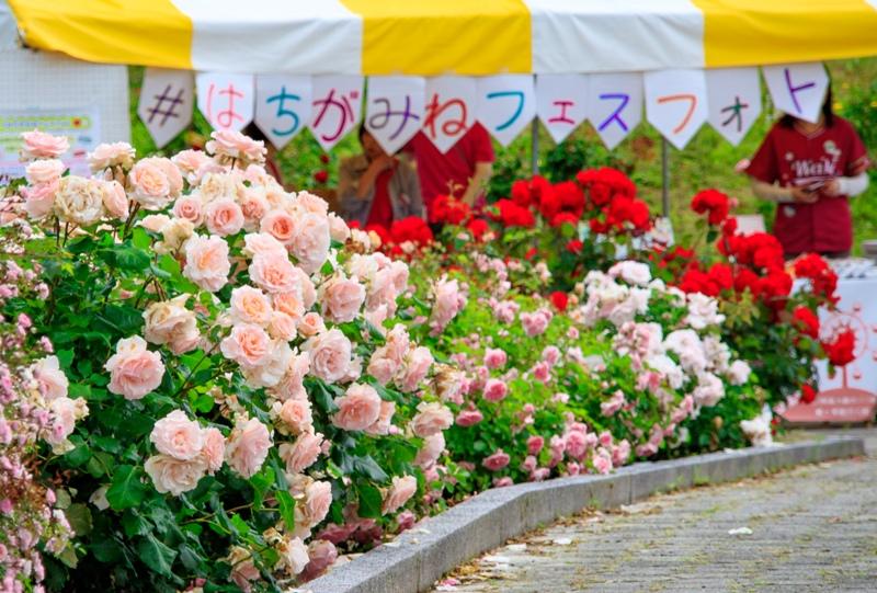 蜂ヶ峯総合公園、バラ園、#はちがみねフェスフォト