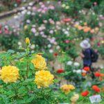 ローズフェスティバル開催中!バラの香り漂う広島市植物公園~!!