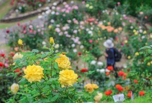 広島市植物公園、バラ園