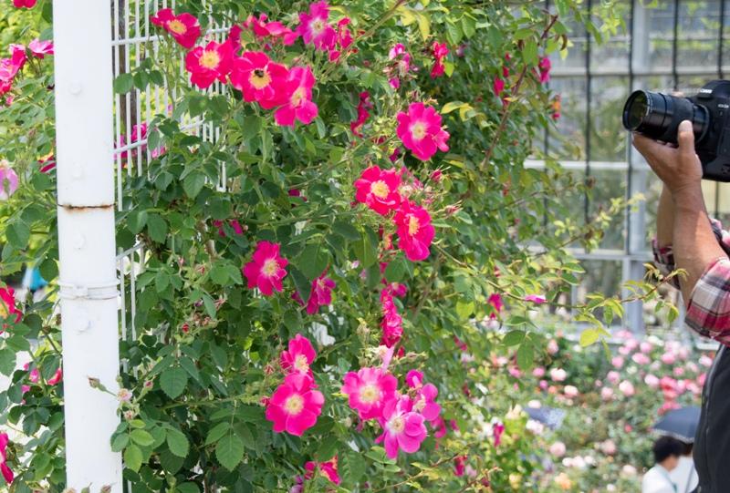 広島市植物公園、バラ園には多くのカメラマンが