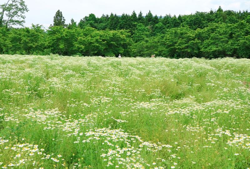 天意の里ハーブガーデン、ジャーマンカモミールの花畑