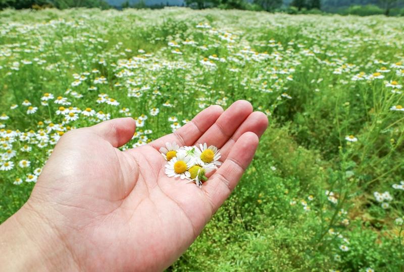 天意の里ハーブガーデン、ジャーマンカモミールの花は小さい