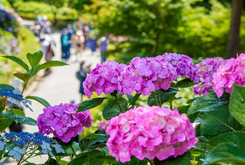 三景園、アジサイ園と観光客