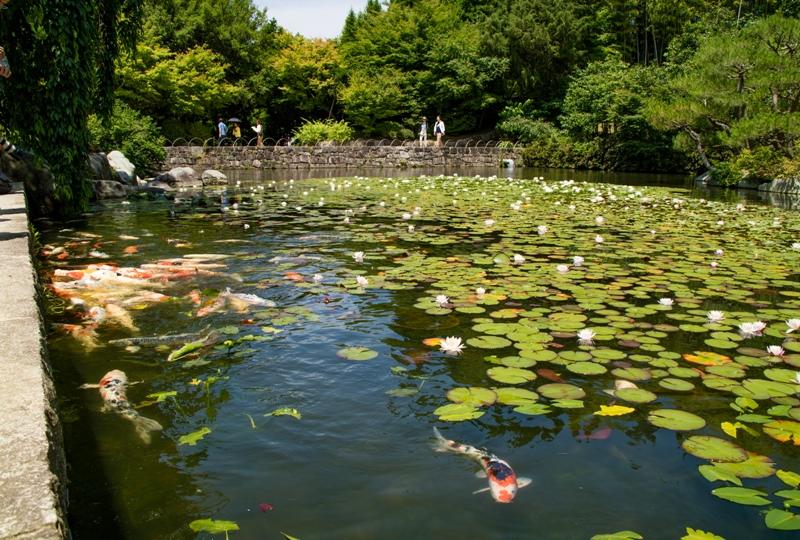 三景園、「里の池」の鯉と睡蓮