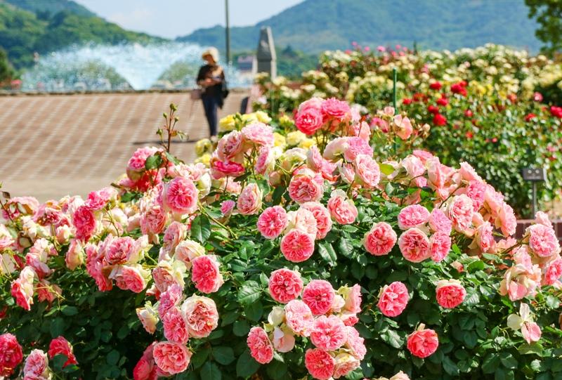 よしうみバラ公園、噴水とバラの花
