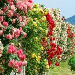 『よしうみバラ公園』しまなみ海道に広がる400種ものバラの花園~!!
