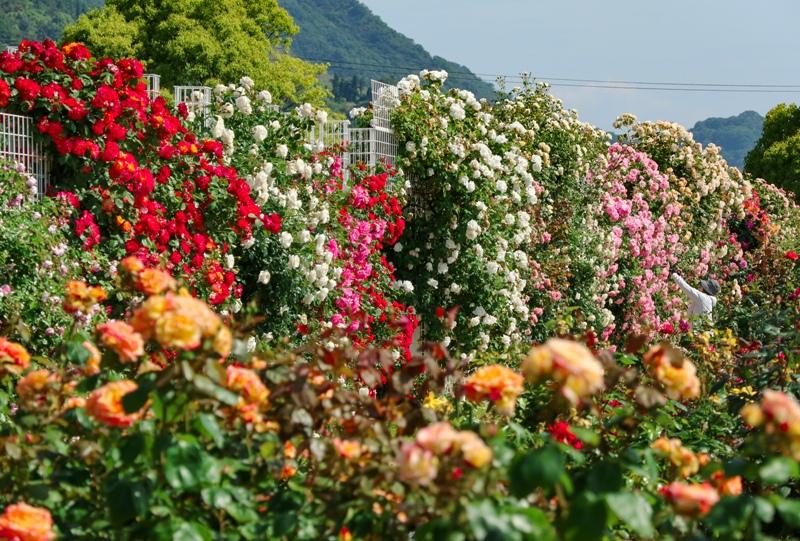 よしうみバラ公園、バラの花壁