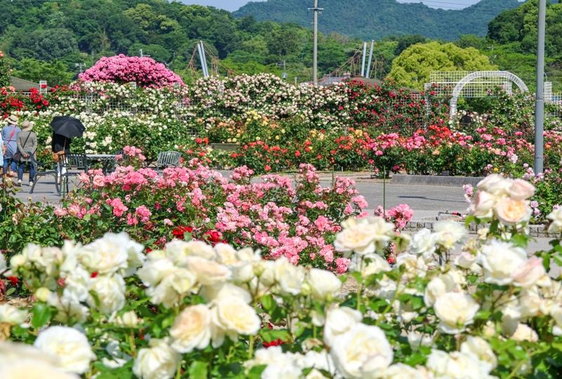 よしうみバラ公園、咲き誇るバラの花