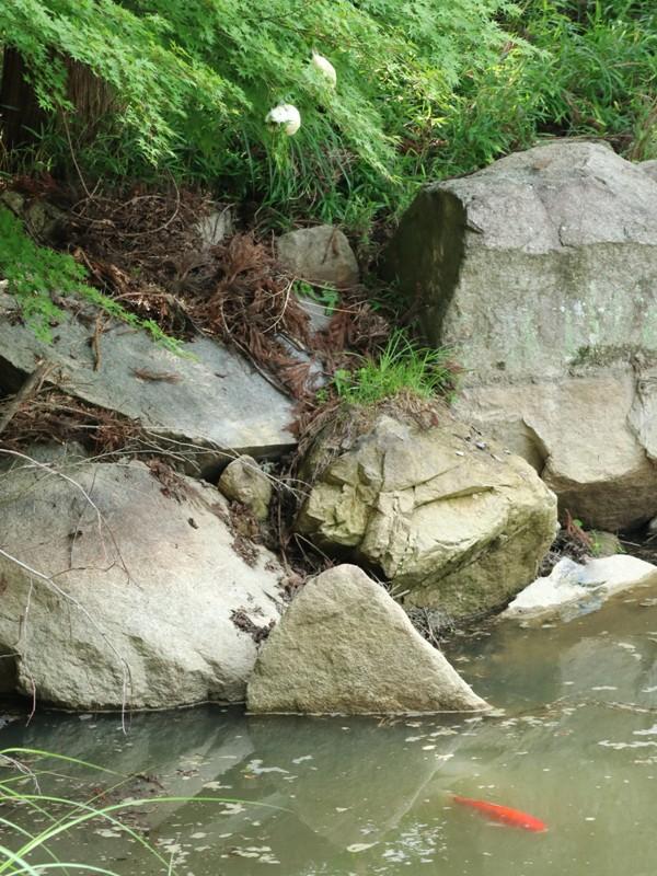 水分峡、石ころび池付のモリアオガエルの卵と鯉