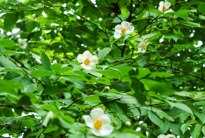 水分峡、シャラ(ナツツバキ)の花