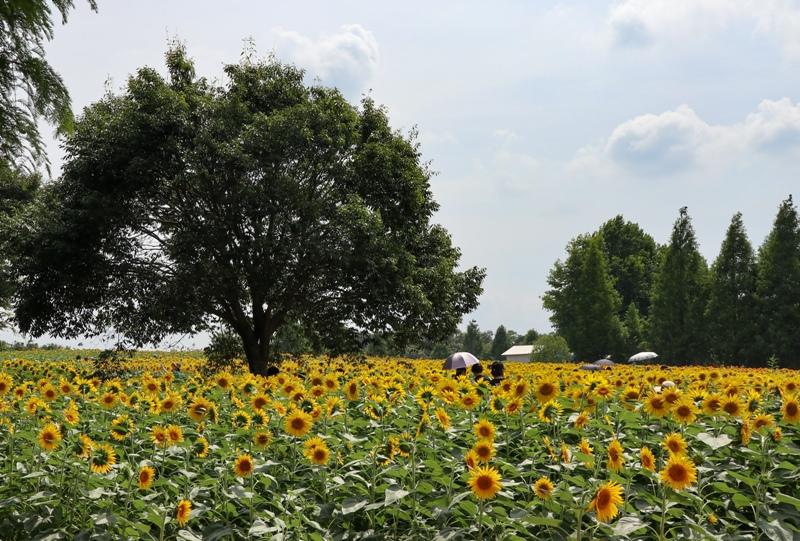 世羅高原農場、見渡す限りのヒマワリ畑