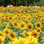 降り注ぐ太陽、輝く110万本のヒマワリが満開じゃ!(世羅高原農場)