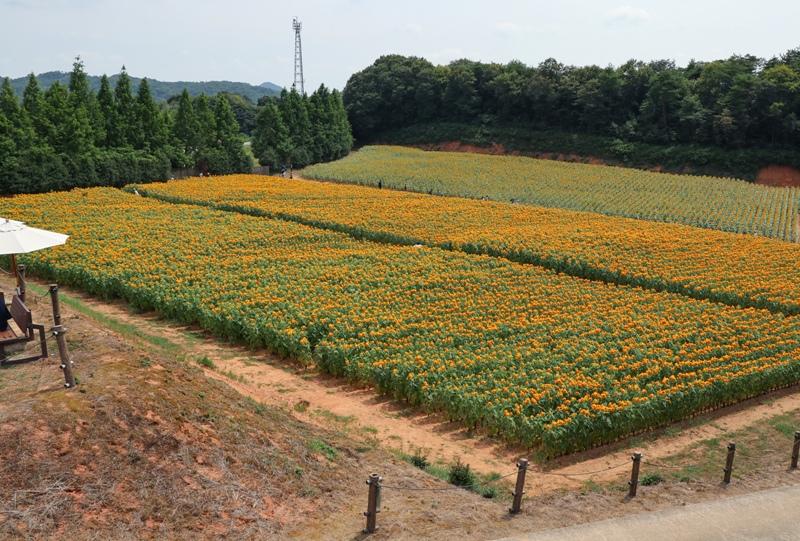 世羅高原農場、みはらしの丘展望台よりヒマワリを望む
