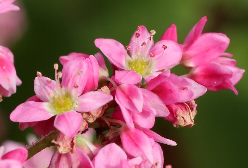 北広島町、八幡高原に咲く「赤そば」の花