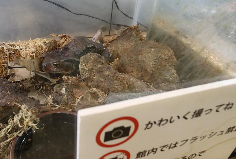 芸北 高原の自然館のカエル