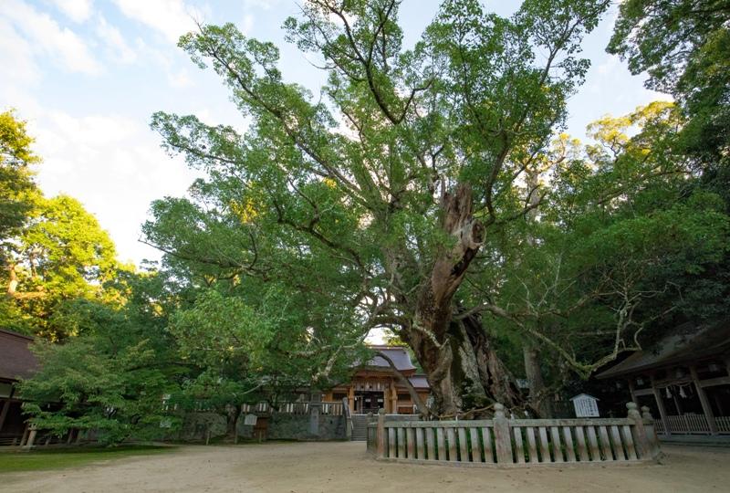 大山祇神社、「乎千命御手植の楠」樹齢2600年