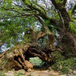 『生樹の御門』樹齢三千年の巨樹が『大山祇神社奥の院』への門!!