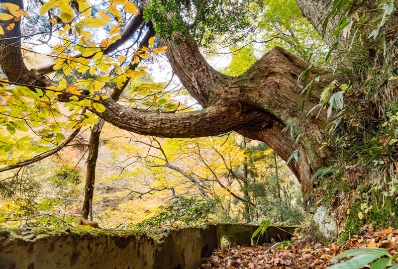 紅葉の三段峡「餅ノ木峠」から三段滝へ向かう遊歩道の大きな杉