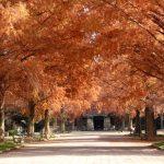 『東千田公園』広大跡地で秋色に染まるメタセコイア!!