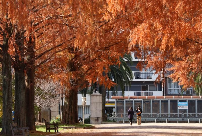 『東千田公園』広大跡地のメタセコイアの紅葉