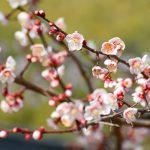 『八木梅林公園』で梅の花を観賞!遊具や川で遊べ子供も満足じゃ!!
