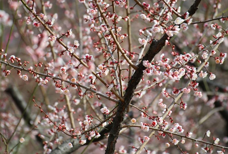八木梅林公園の梅の花
