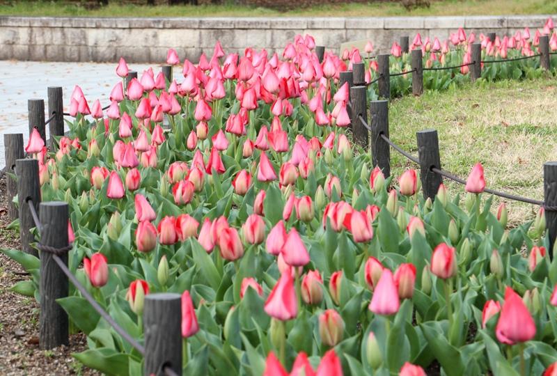 広島平和公園の桜開花情報2019(チューリップ)