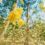 空に浮かぶ『ミツマタ』の花!幻想的な群生地(広島県安芸高田市)