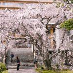 『八屋山 普門寺』山門の向こうに満開のしだれ桜(広島市中区大手町)