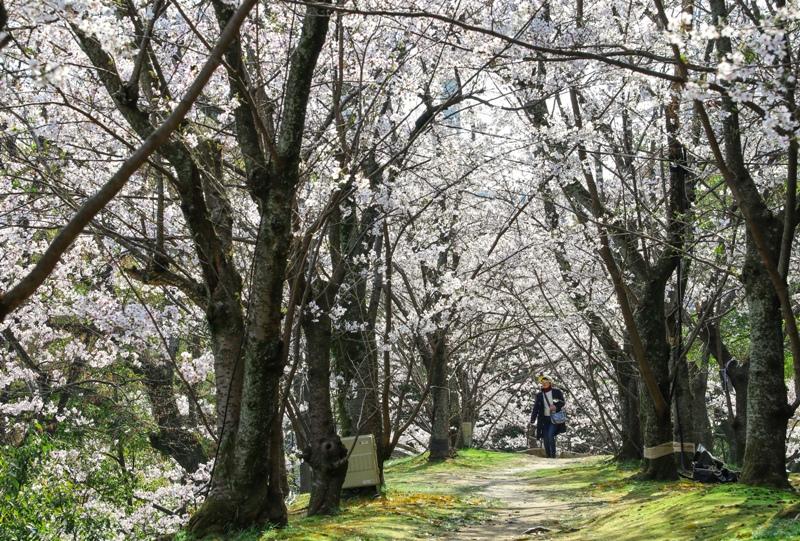 広島城と桜