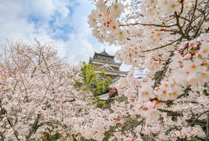 広島城、天守閣と桜