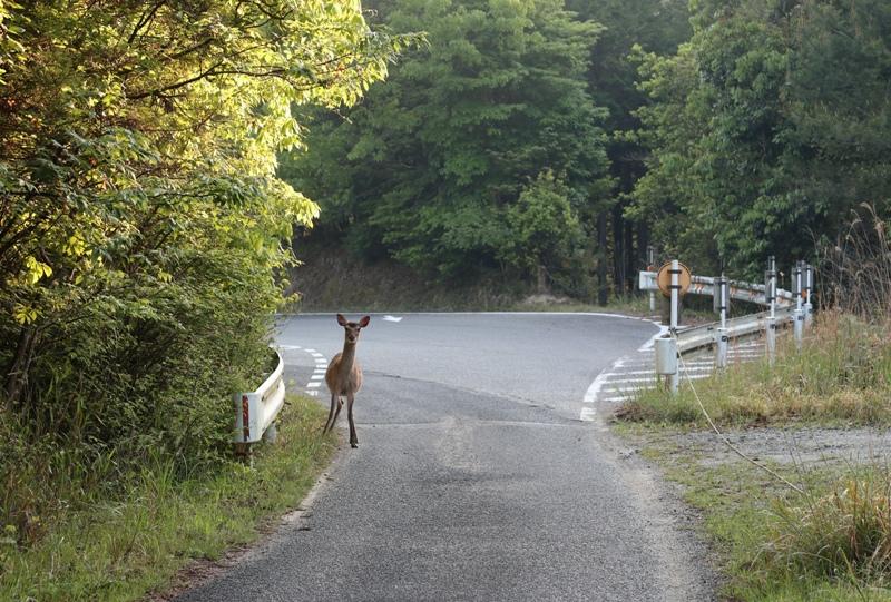県道80号線を通り、神ノ倉山公園へと向かう最中に鹿と出会った