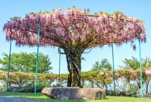 神ノ倉山公園、特徴的な丸い藤棚