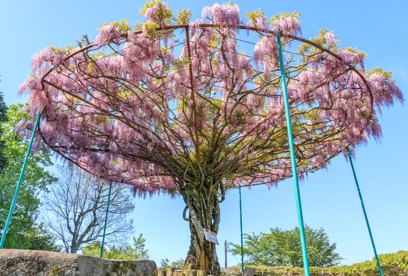 神ノ倉山公園、特徴的な丸い藤棚(ふじの傘)