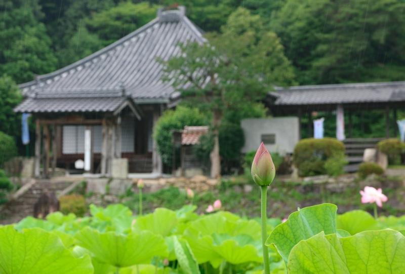 三原市「棲真寺」のハス(蓮)の花
