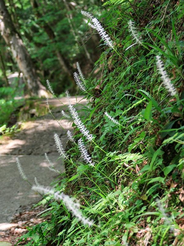 初夏の三段峡、シライトソウ(白糸草)