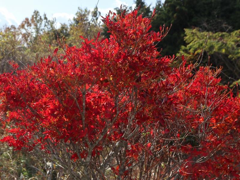 吉和展望台、赤く色づいた葉