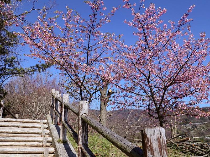 「であいの館 蒲刈」に植えてある河津桜